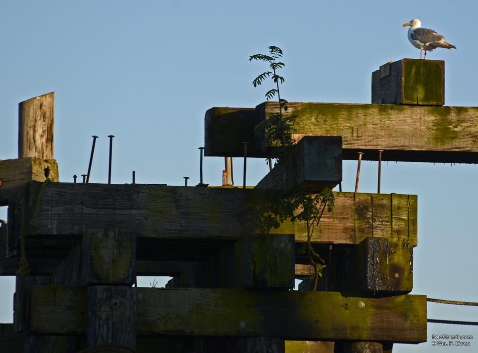 Gull on pilings